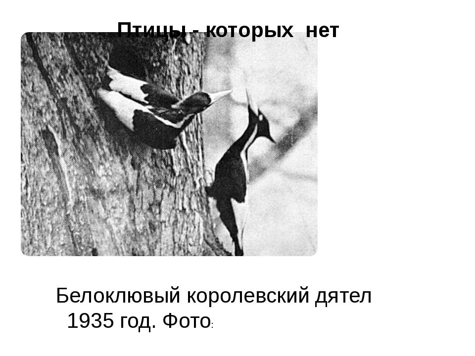 Белоклювый королевский дятел 1935 год. Фото: Птицы - которых нет