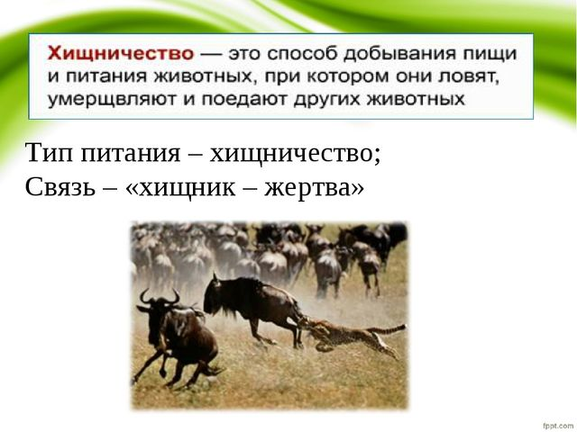 Тип питания – хищничество; Связь – «хищник – жертва»