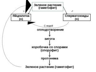 Зеленое растение (гаметофит) Яйцеклетка (n) Сперматозоиды (n) ♂ ♀ С водой опл