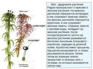 гаметофит спорофит Мох - двудомное растение. Рядом произрастают и мужские и ж