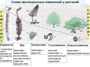 Схема эволюционных изменений у растений Папоротники гаметофит – заросток Покр