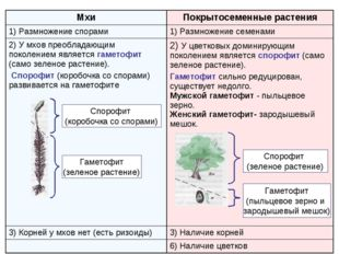 Спорофит (коробочка со спорами) Гаметофит (зеленое растение) Спорофит (зелено