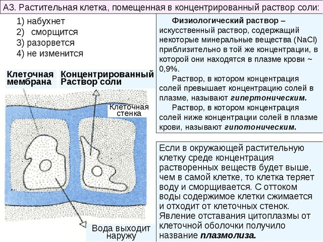A3. Растительная клетка, помещенная в концентрированный раствор соли: * 1) на...