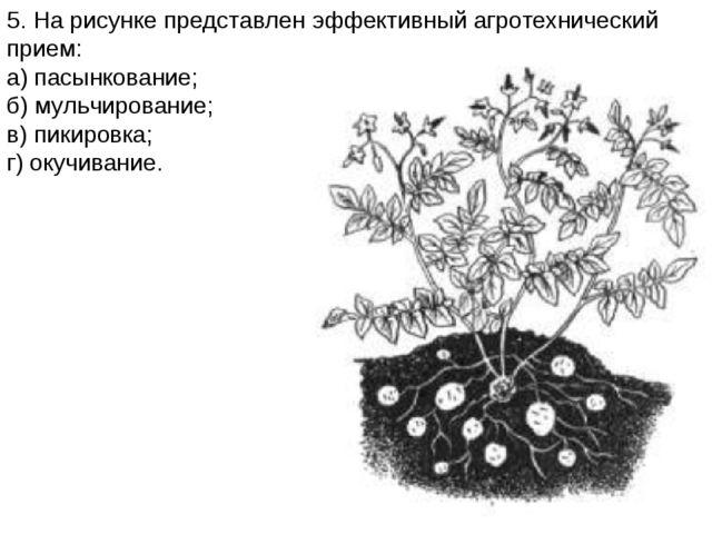 5. На рисунке представлен эффективный агротехнический прием: а) пасынкование;...