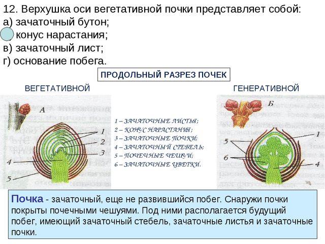 12. Верхушка оси вегетативной почки представляет собой: а) зачаточный бутон;...