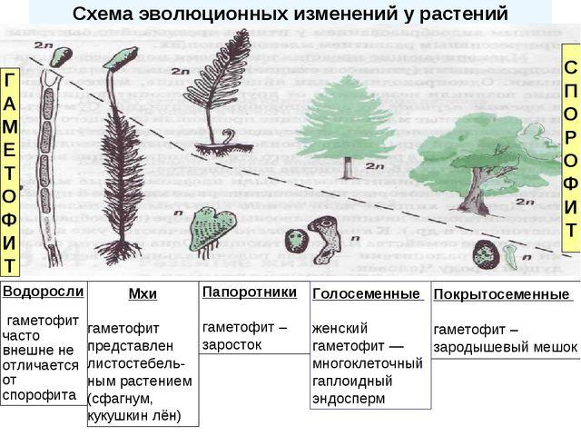 Схема эволюционных изменений у растений Папоротники гаметофит – заросток Покр...