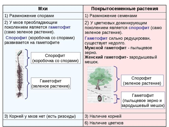 Спорофит (коробочка со спорами) Гаметофит (зеленое растение) Спорофит (зелено...