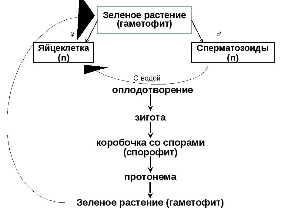Зеленое растение (гаметофит) Яйцеклетка (n) Сперматозоиды (n) ♂ ♀ С водой опл...