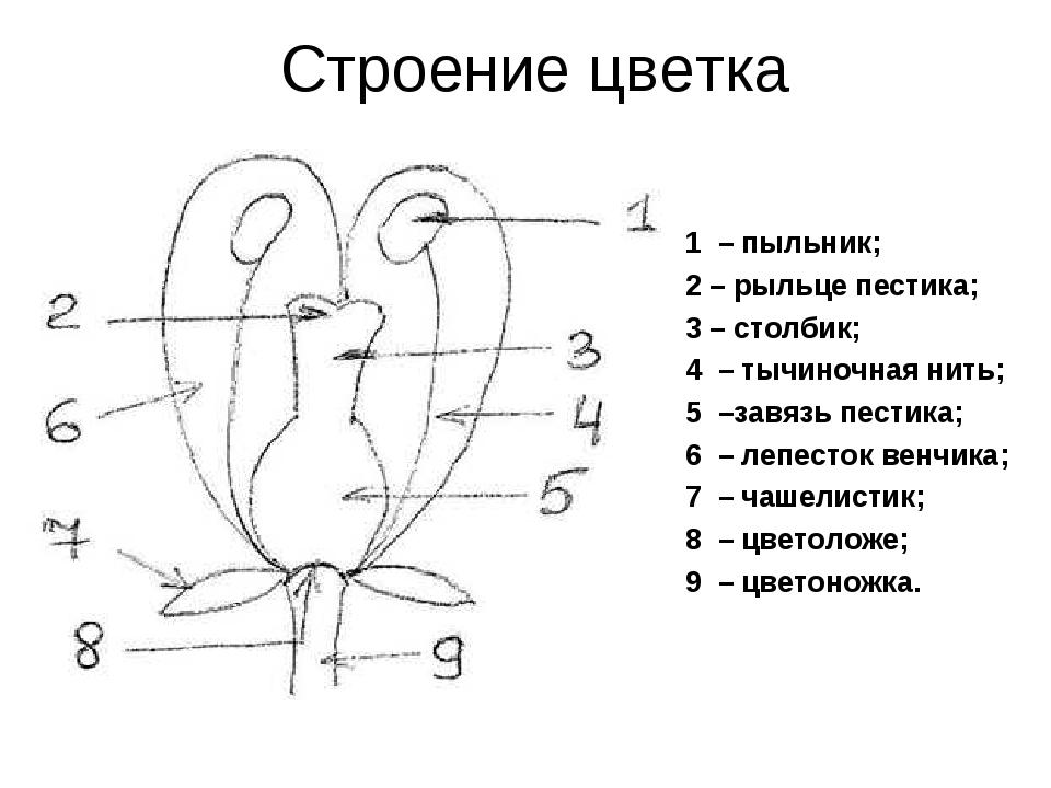 Строение цветка 1 – пыльник; 2 – рыльце пестика; 3 – столбик; 4 – тычиночная...