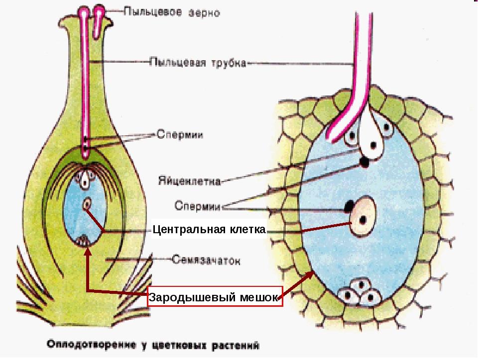 Центральная клетка Зародышевый мешок