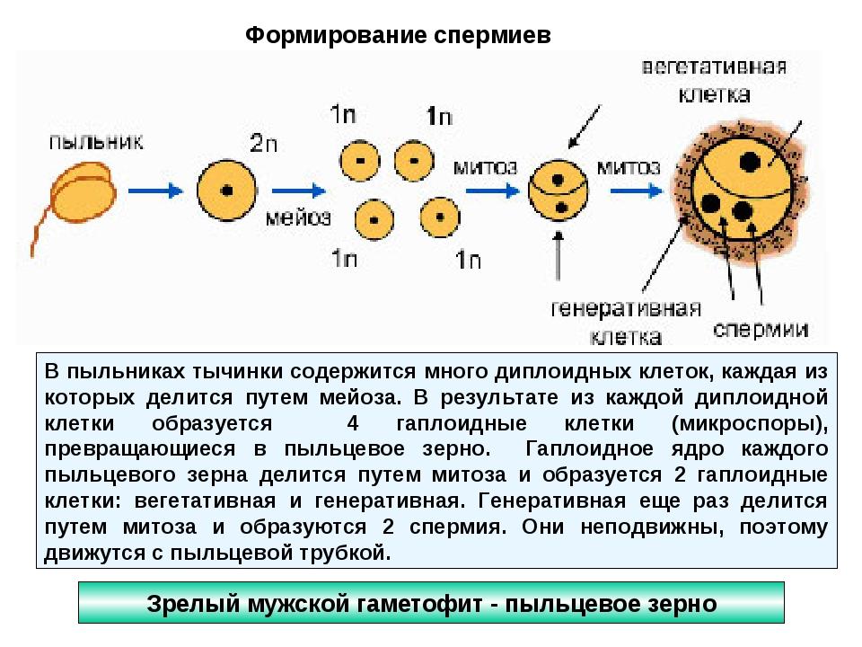 Зрелый мужской гаметофит - пыльцевое зерно Формирование спермиев В пыльниках...