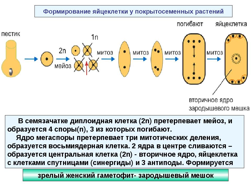 Формирование яйцеклетки у покрытосеменных растений В семязачатке диплоидная к...