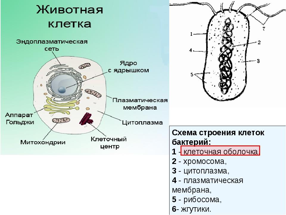 Схема строения клеток бактерий: 1 - клеточная оболочка, 2 - хромосома, 3 - ци...