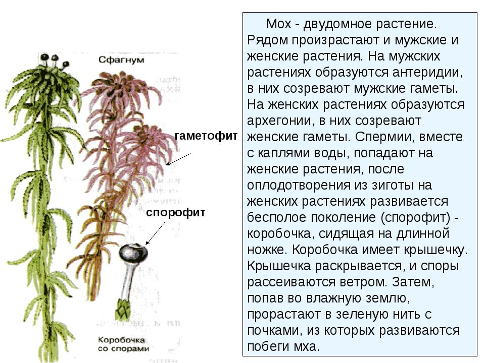 гаметофит спорофит Мох - двудомное растение. Рядом произрастают и мужские и ж...