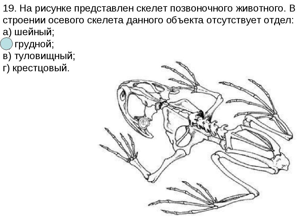 19. На рисунке представлен скелет позвоночного животного. В строении осевого...