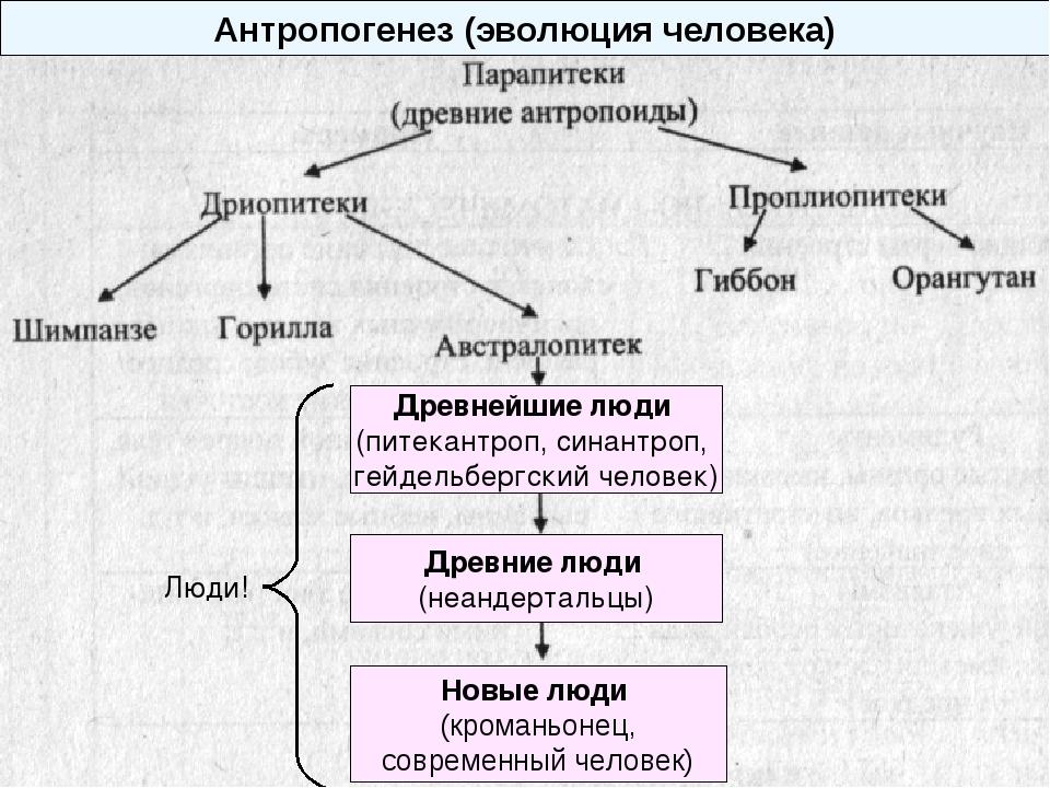 Антропогенез (эволюция человека) Древнейшие люди (питекантроп, синантроп, гей...