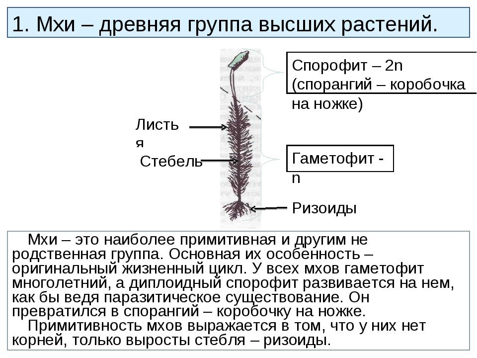 Листья 1. Мхи – древняя группа высших растений. Мхи – это наиболее примитивна...