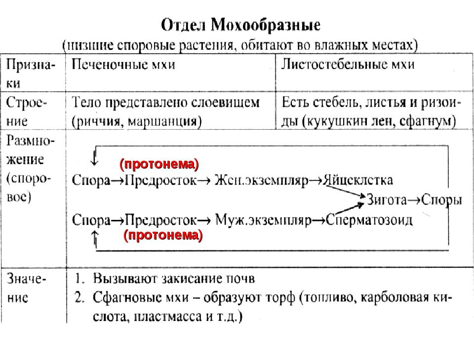 (протонема) (протонема)