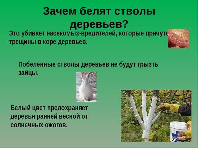 Зачем белят стволы деревьев? Это убивает насекомых-вредителей, которые прячут...