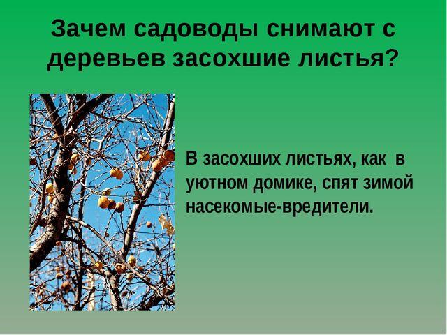 Зачем садоводы снимают с деревьев засохшие листья? В засохших листьях, как в...