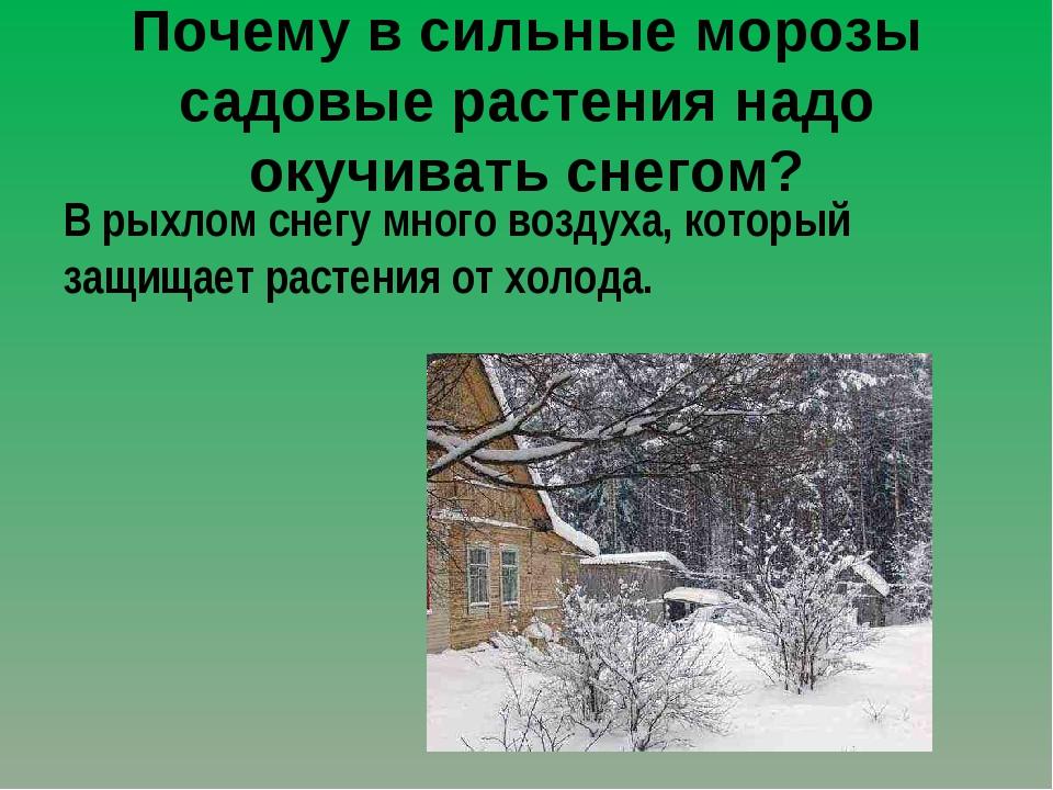 Почему в сильные морозы садовые растения надо окучивать снегом? В рыхлом снег...