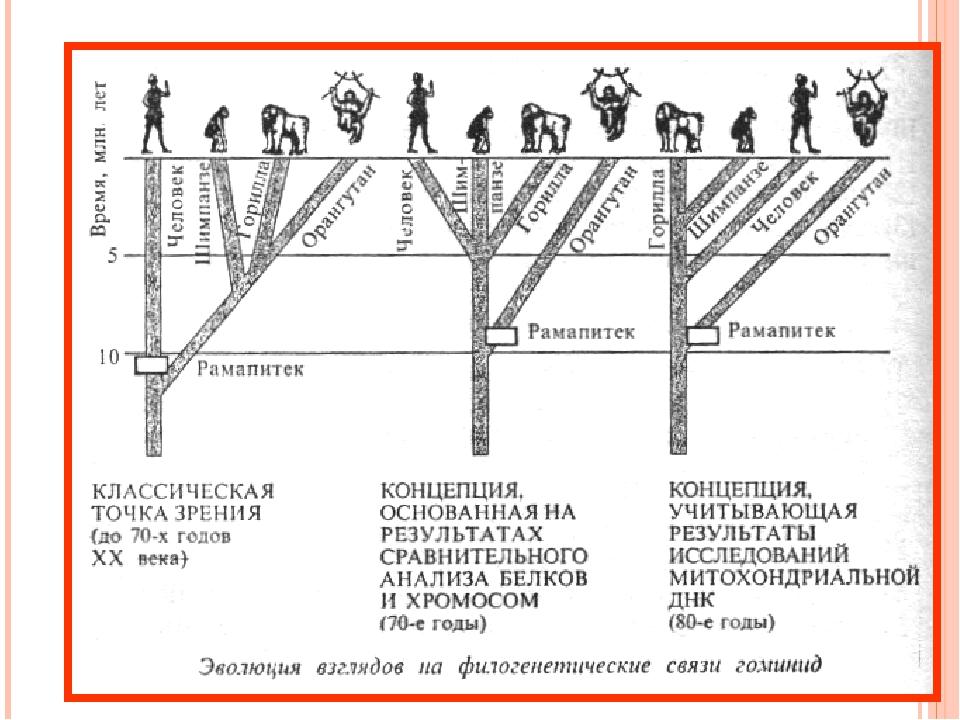 Согласно эволюционной теории человек произошел от обезьяны. Место человека в...