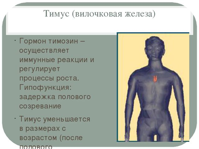 Тимус (вилочковая железа) Гормон тимозин – осуществляет иммунные реакции и ре...