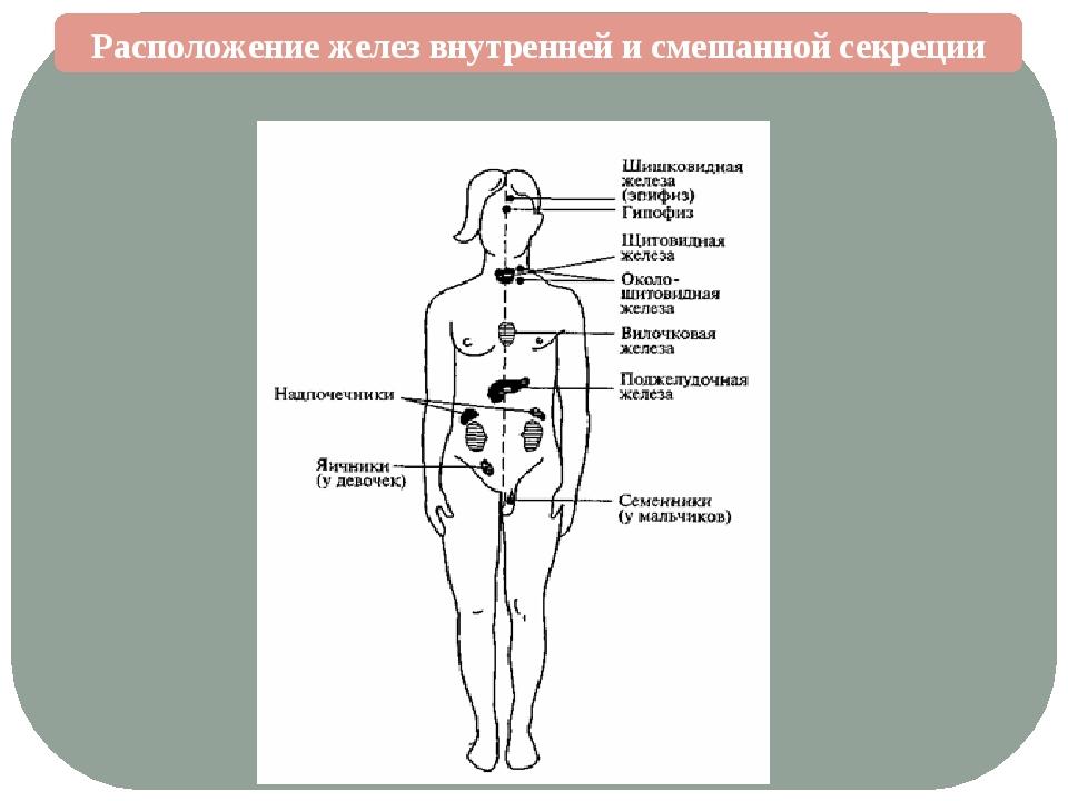 Расположение желез внутренней и смешанной секреции