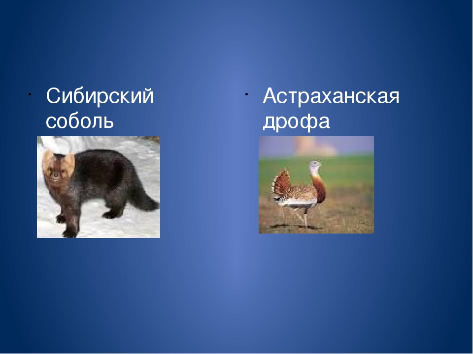 Сибирский соболь Астраханская дрофа
