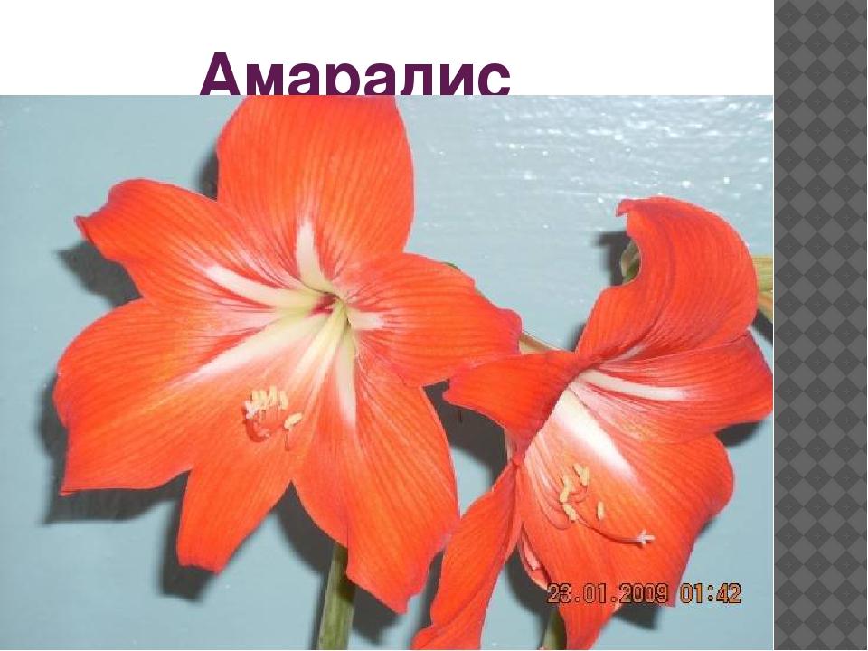 Амаралис