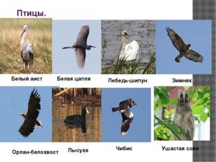 Птицы. Белый аист Белая цапля Лебедь-шипун Зимняк Орлан-белохвост Лысуха Чиби