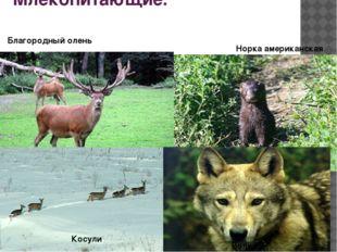 Млекопитающие. Благородный олень Косули Норка американская Волк