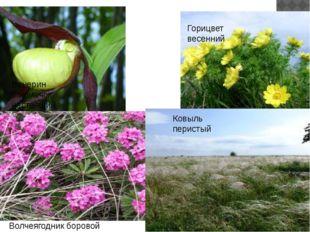 Растения. Венерин башмачок настоящий Волчеягодник боровой Горицвет весенний К