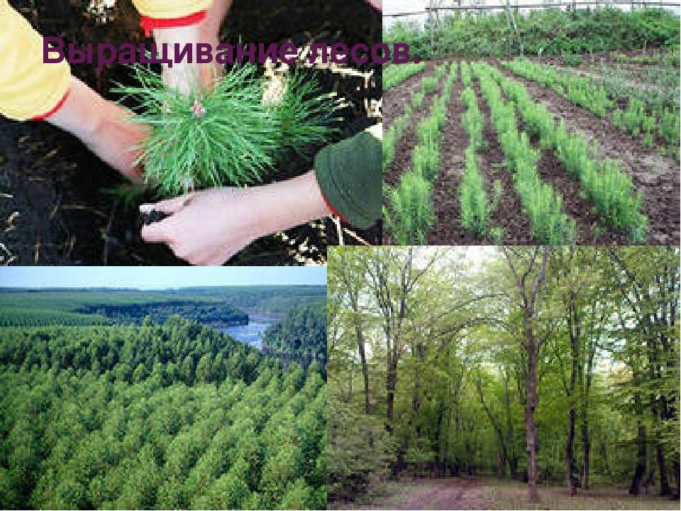 Выращивание лесов.