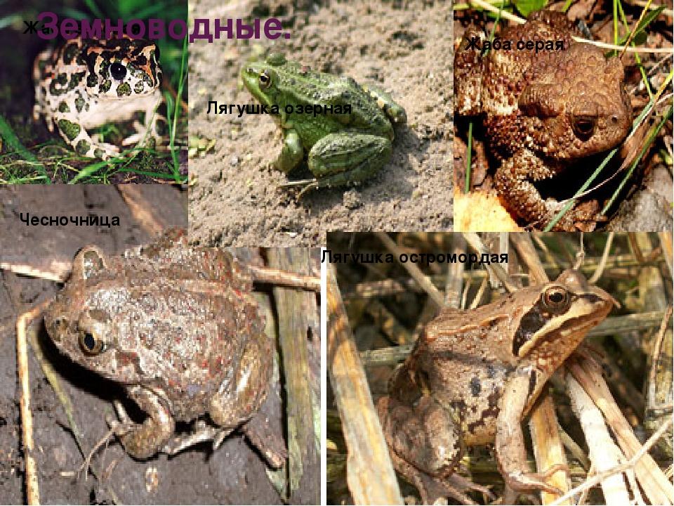 Жаба зеленая Жаба серая Чесночница Лягушка озерная Лягушка остромордая Земнов...