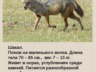 Шакал. Похож на маленького волка. Длина тела 70 – 85 см., вес 7 – 13 кг. Жив
