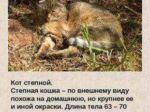 Кот степной. Степная кошка – по внешнему виду похожа на домашнюю, но крупнее