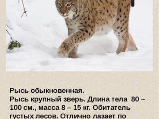 Рысь обыкновенная. Рысь крупный зверь. Длина тела 80 – 100 см., масса 8 – 15