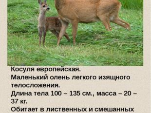 Косуля европейская. Маленький олень легкого изящного телосложения. Длина тел