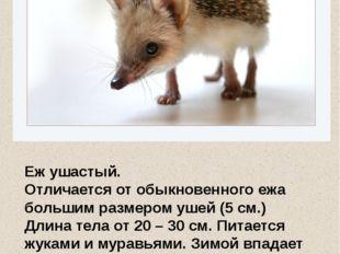 Еж ушастый. Отличается от обыкновенного ежа большим размером ушей (5 см.) Дли