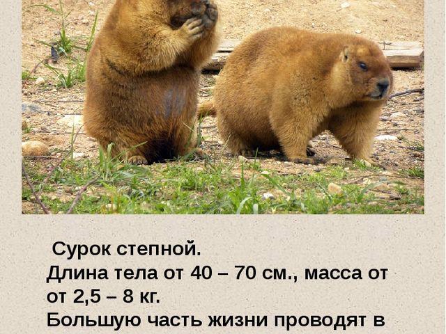 Сурок степной. Длина тела от 40 – 70 см., масса от от 2,5 – 8 кг. Большую ча...