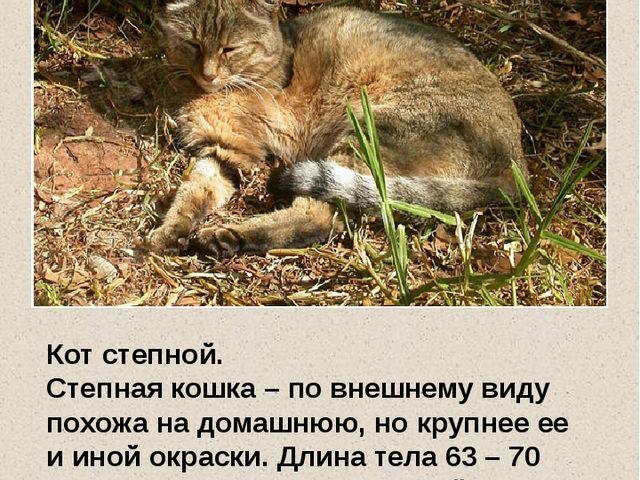 Кот степной. Степная кошка – по внешнему виду похожа на домашнюю, но крупнее...