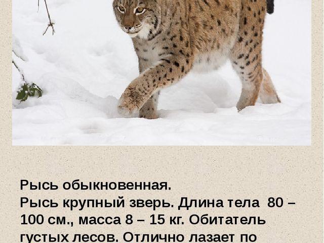Рысь обыкновенная. Рысь крупный зверь. Длина тела 80 – 100 см., масса 8 – 15...