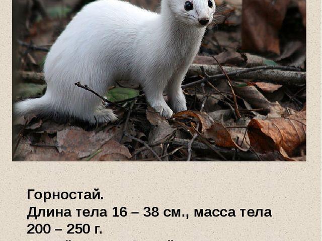 Горностай. Длина тела 16 – 38 см., масса тела 200 – 250 г. Зимой зверек белы...