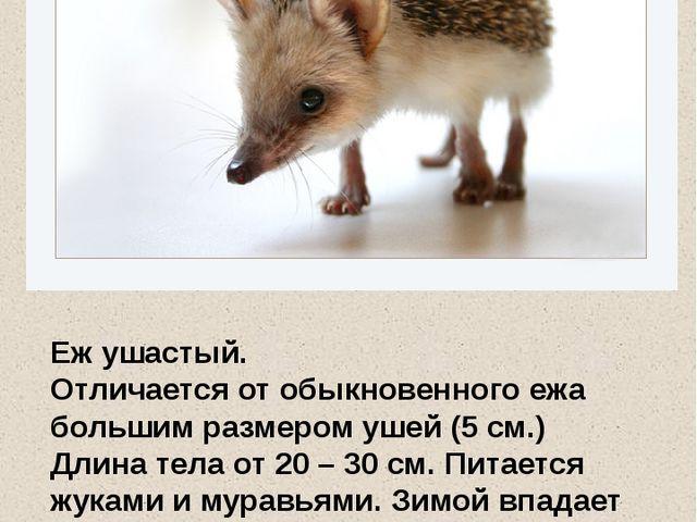 Еж ушастый. Отличается от обыкновенного ежа большим размером ушей (5 см.) Дли...