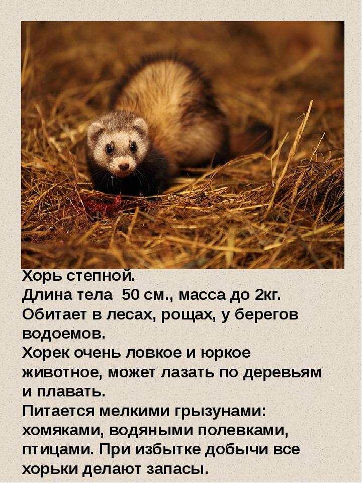 Хорь степной. Длина тела 50 см., масса до 2кг. Обитает в лесах, рощах, у бере...