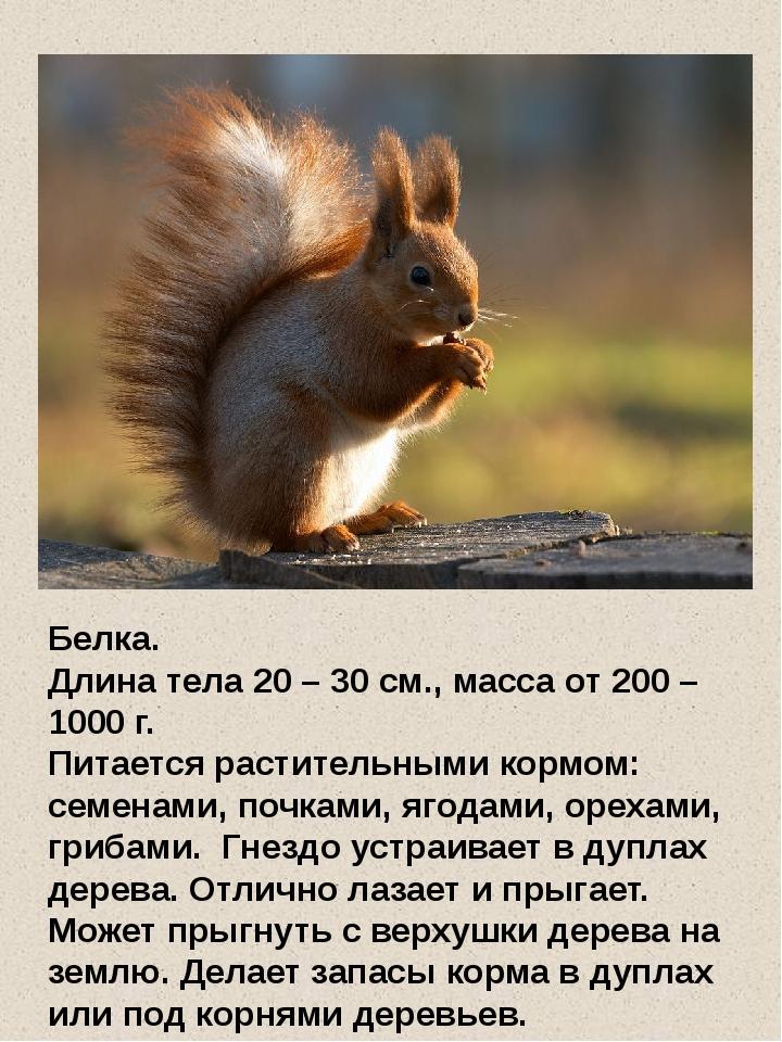Белка. Длина тела 20 – 30 см., масса от 200 – 1000 г. Питается растительными...