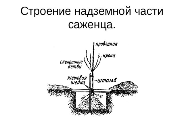 Строение надземной части саженца.