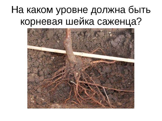 На каком уровне должна быть корневая шейка саженца?
