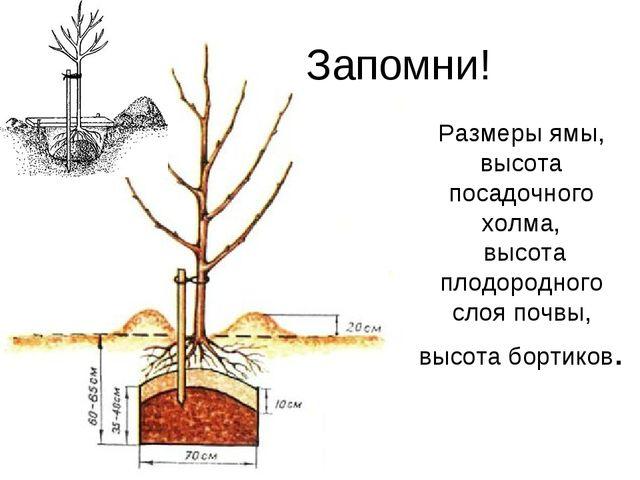 Размеры ямы, высота посадочного холма, высота плодородного слоя почвы, высота...